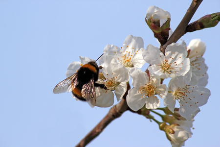 striped bumble bee collects nectar on blooming apple tree