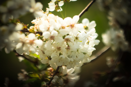 Inflorescence of sweet cherry. Stock Photo