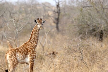 Young giraffe standing along in the dry grass of the african bush veld
