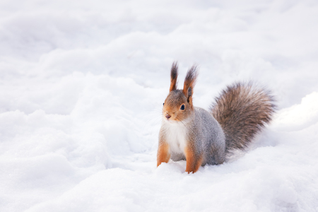 Siberian red squirrel in the winter woods in search of food