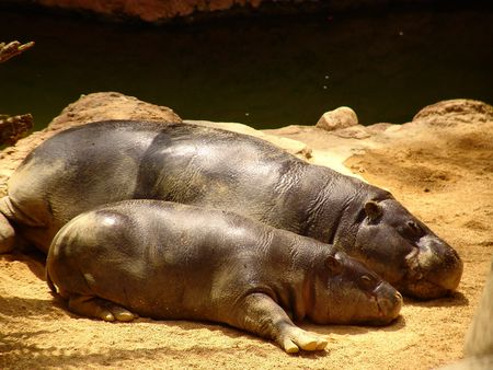 A  hippo with its mum lying under the sun in a spanish zoo