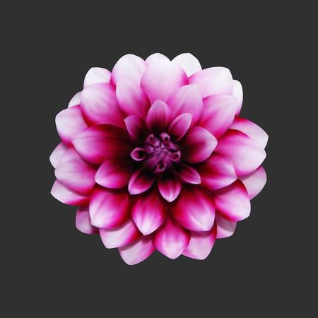 Realistic pink Colored Dahlia Ilustrace