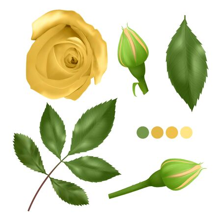 Realistic Yellow rose on white background, leaves, bud and an open flower, elements for your design, Vector illustration Illustration