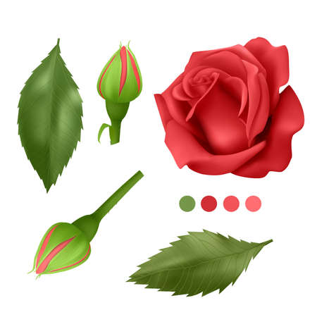 Realistic Red rose on white background, leaves, bud and an open flower, elements for your design