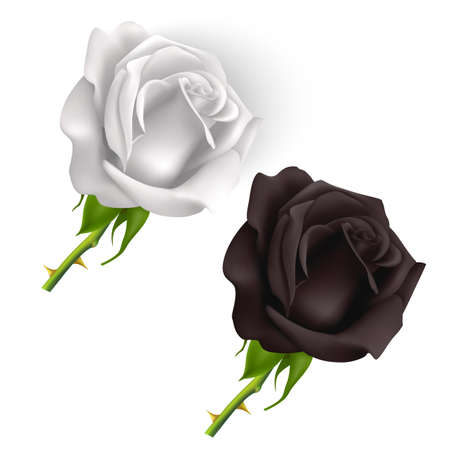 Set of Black and white Roses isolated on white background, roses in photo realistic style, Vector   illustration