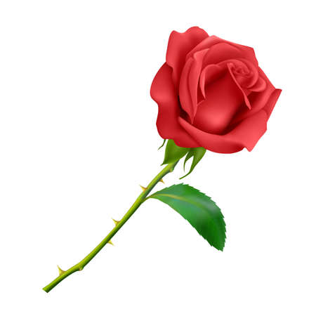Beautiful Red rose on long stem with leaf and thorns isolated on white background, photo realistic vector illustration.