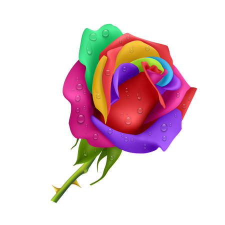 Beautiful rose Isolated on white background. Rose with different color petals, Photo-realistic gradient mesh vector eps 10 illustration.