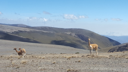 Three vicuñas that have noticed the presence of people. Stok Fotoğraf