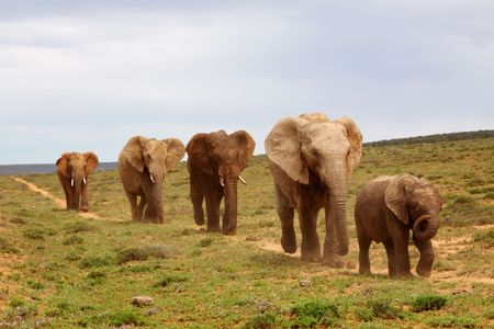 herbivore natural: A small herd of elephant at Addo Elephant National Park, Eastern Cape, South Africa,