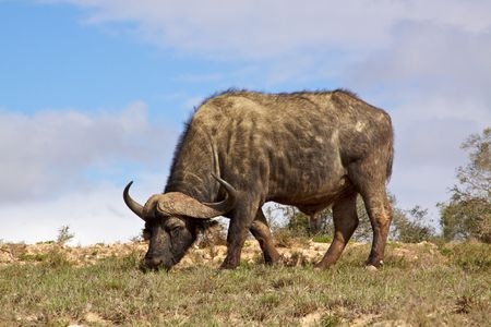 grazer: African or Cape buffalo (Syncerus caffer) bull grazing in the Addo Elephant National Park, South Africa.