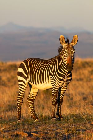 A mountain zebra  (Equus zebra) in the Mountain Zebra National Park, South Africa.