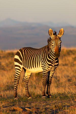 grazer: A mountain zebra  (Equus zebra) in the Mountain Zebra National Park, South Africa.