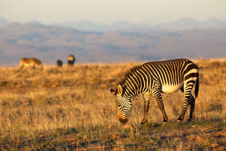 A mountain zebra  (Equus zebra) grazing in the Mountain Zebra National Park, South Africa. photo