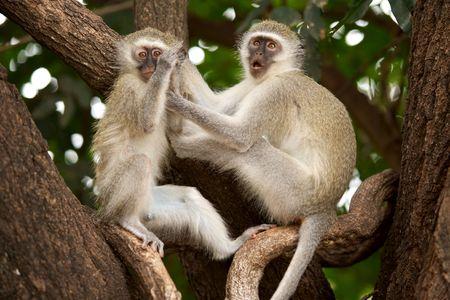 Vervet (Green) monkeys (Cercopithecus aethiops) at Tshokwane, Kruger National Park. photo