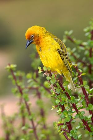 A male Cape Weaver (Ploceus capensis) perching on a spekboom (Portulacaria afra) in Addo Elephant National Park, South Africa.