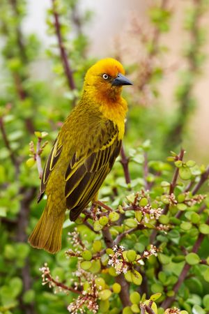 A male Cape Weaver (Ploceus capensis) perching on a spekboom (Portulacaria afra) tree in Addo Elephant National Park, South Africa. Stock Photo