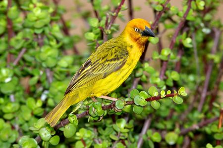 A male Cape Weaver (Ploceus capensis) perching on a spekboom tree (Portulacaria afra) in Addo Elephant National Park, South Africa.