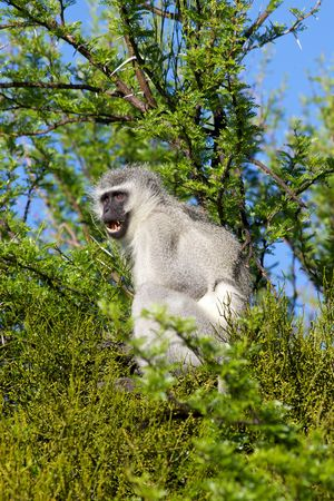 An alarmed vervet (green) monkey (Cercopithecus aethiops) in Mountain Zebra National Park, South Africa. photo