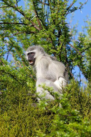 alarmed: An alarmed vervet (green) monkey (Cercopithecus aethiops) in Mountain Zebra National Park, South Africa.