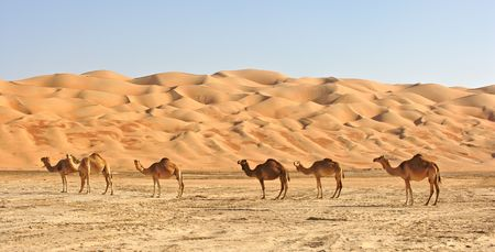 arabia: Empty Quarter Camels