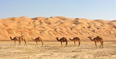 Oman: Empty Quarter Camels