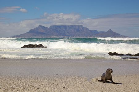 Table Mountain and Seal photo