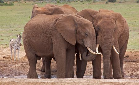 africana: Young elephant bulls at a waterhole in Addo Elephant National Park, South Africa,