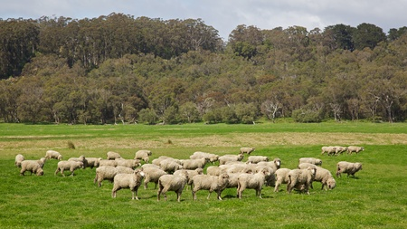 A flock of sheep grazing near Albany in Western Australia. Stock Photo