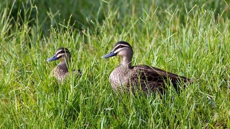 herdsman: Pacific Black Ducks (Anas superciliosa) at Herdsman Lake, Perth, Western Australia.
