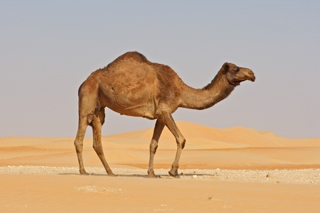 A camel in the Rub al Khali or Empty Quarter. Straddling Oman, Saudi Arabia, the UAE and Yemen, this is the largest sand desert in the world. Stock Photo