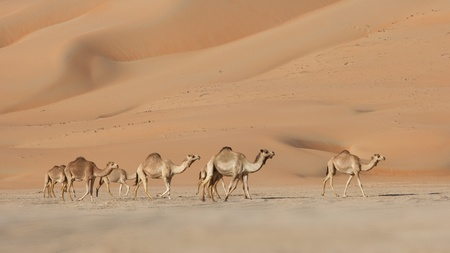 Camels in the Rub al Khali or Empty Quarter. Straddling Oman, Saudi Arabia, the UAE and Yemen, this is the largest sand desert in the world. photo