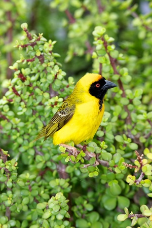 A male Southern Masked Weaver (Ploceus velatus) perching on a spekboom tree (Portulacaria afra) in Addo Elephant National Park, South Africa.