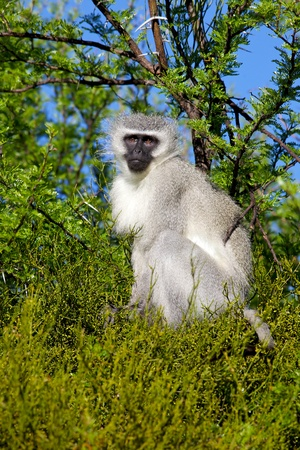 Portrait of a vervet (green) monkey (Cercopithecus aethiops) in Mountain Zebra National Park, South Africa. photo