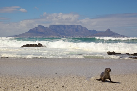 A young Cape Fur Seal (Arctocephalus pusillus) with Table Mountain in the background, Blouberg Beach, Cape Town. photo