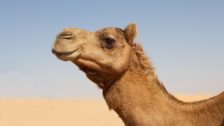 Portrait of a camel in the Rub al Khali or Empty Quarter. Straddling Oman, Saudi Arabia, the UAE and Yemen, this is the largest sand desert in the world.