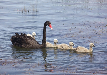cygnus atratus: The Black Swan (Cygnus atratus) is one of Australias best-known birds, breeding mainly in the south-east and south-west regions. Stock Photo