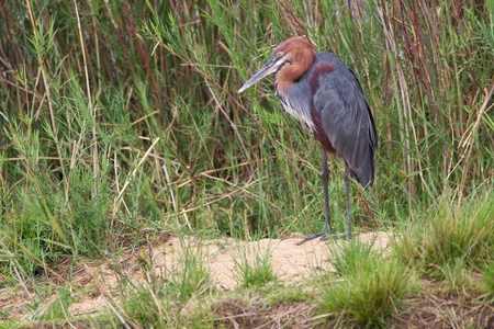 birdlife: A Goliath Heron (the worlds largest heron) on the banks of the Sabie River, Kruger National Park, South Africa.