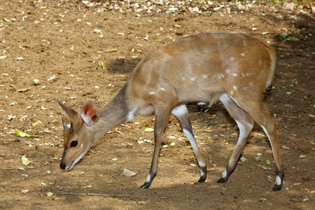 A secretive young male bushbuck (Tragelaphus scriptus), Kruger National Park, South Africa. photo