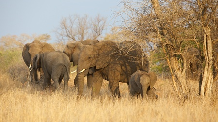 kruger national park: Part of a breeding herd of African elephant (Loxodonta africana) in the Kruger National Park, South Africa.