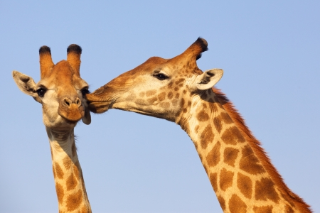 Giraffe pair bonding in the Kruger National Park, South Africa. Standard-Bild