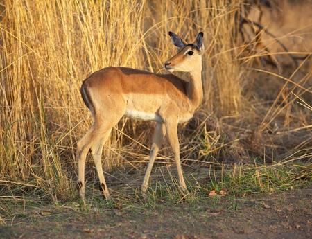 kruger national park: Impala ewe (Aepyceros melampus), Kruger National Park, South Africa. Stock Photo