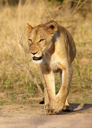 Lioness, Kruger National Park, South Africa. photo