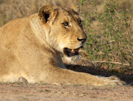 Portrait of a lioness, Kruger National Park, South Africa. photo