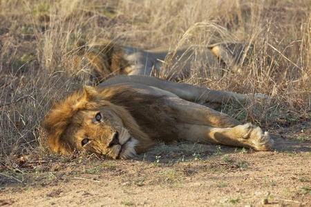 Male lions resting in the Kruger National Park, South Africa.