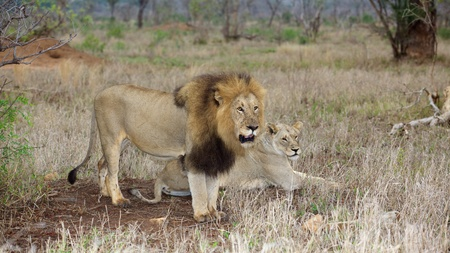 kruger national park: A lion couple at dawn, Kruger National Park, South Africa.