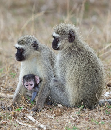 diurnal: Vervet (Green) monkeys (Cercopithecus aethiops) with a baby in the Kruger National Park. Stock Photo