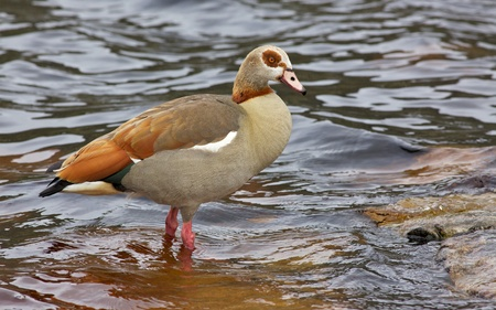 birdlife: The Egyptian Goose (Alopochen aegyptiacus) is widely distributed across Africa and southern Europe. Stock Photo