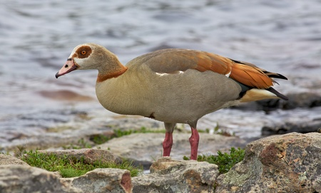 distributed: The Egyptian Goose (Alopochen aegyptiacus) is widely distributed across Africa and southern Europe. Stock Photo