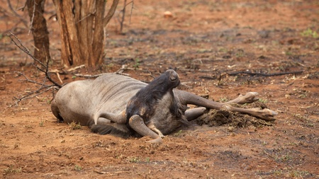 taurinus: A blue wildebeest (Connochaetes taurinus) carcass in the Kruger National Park, South Africa.