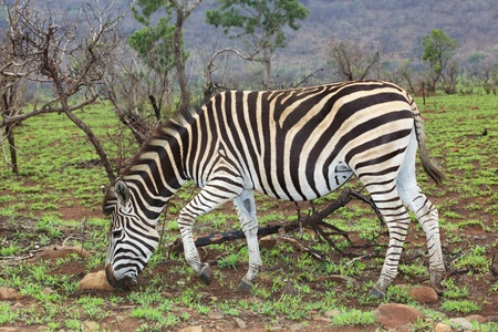 kruger national park: Plains or Burchells Zebra (Equus burchellii) in the mist, Kruger National Park, South Africa.
